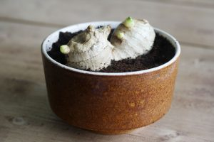 How to grow ginger from a store bought ginger root